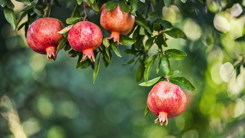 The Benefits of Pomegranate Seed Oil for the Skin
