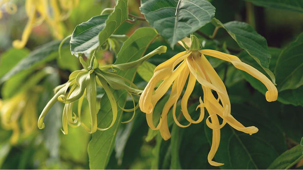 How Ylang Ylang Oil Can Help Your Skin