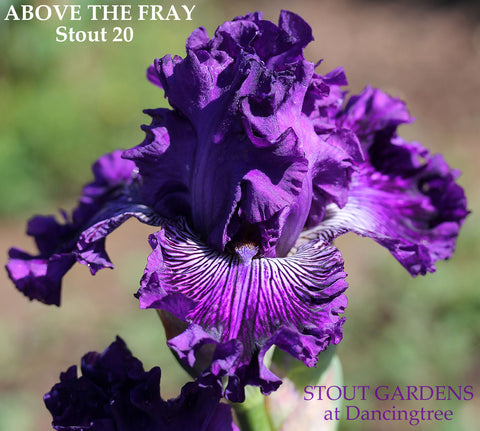Iris Above The Fray