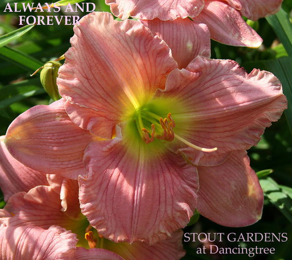 Daylily Always And Forever