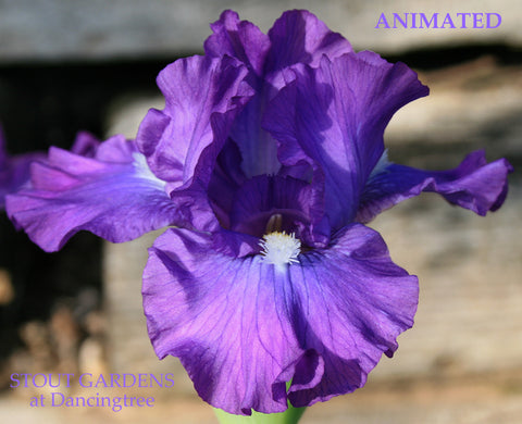Iris Animated