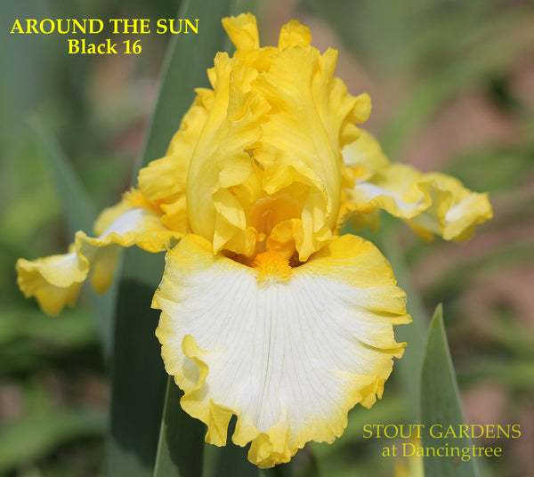 Iris AROUND THE SUN