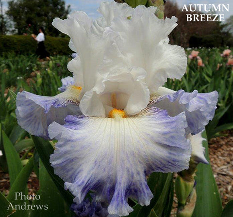 Iris AUTUMN BREEZE