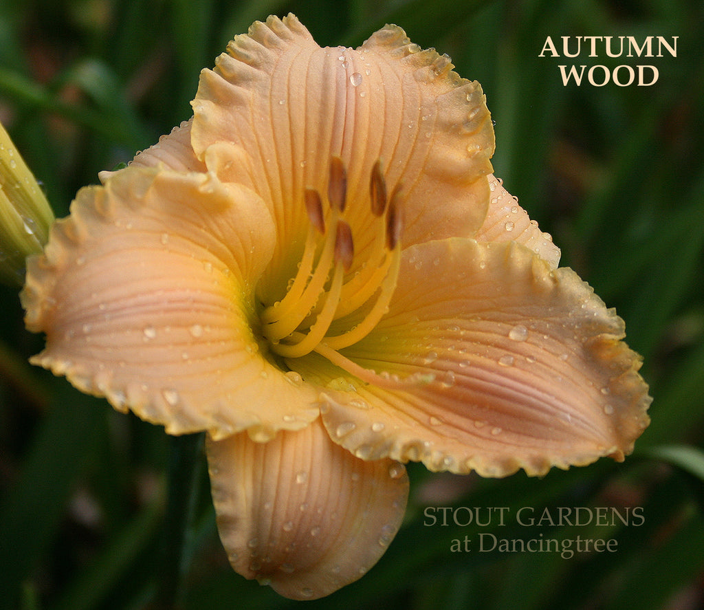 Daylily Autumn Wood