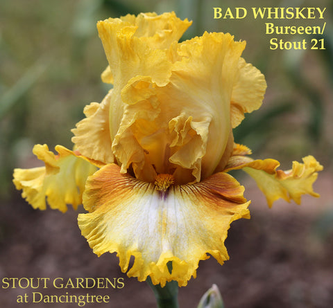 Iris Bad Whiskey