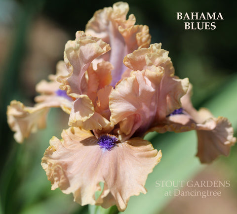 Iris Bahama Blues