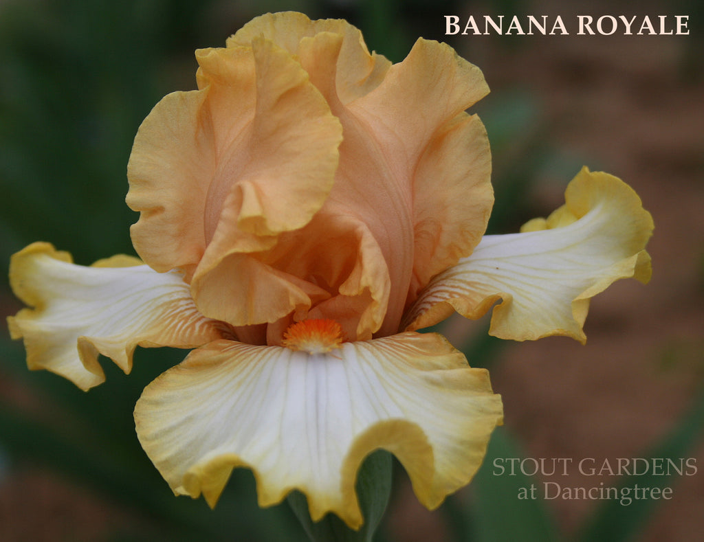 Iris Banana Royale