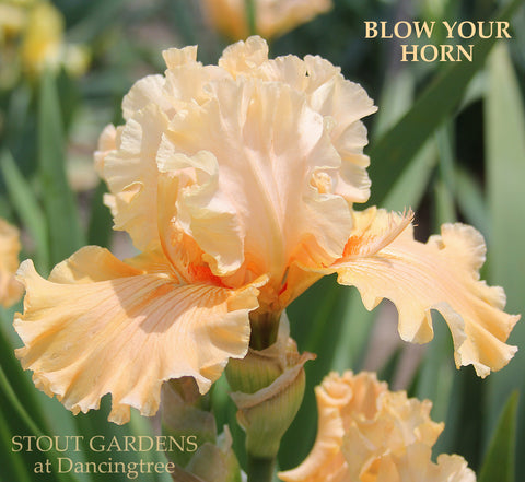 Iris Blow Your Horn (Creamsickle rejected)