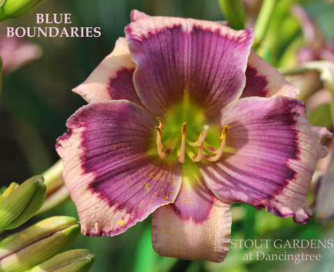 Daylily Blue Boundaries