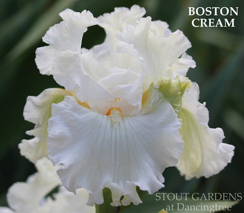 Iris Boston Cream