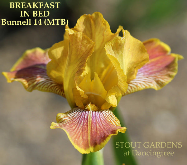 Iris BREAKFAST IN BED