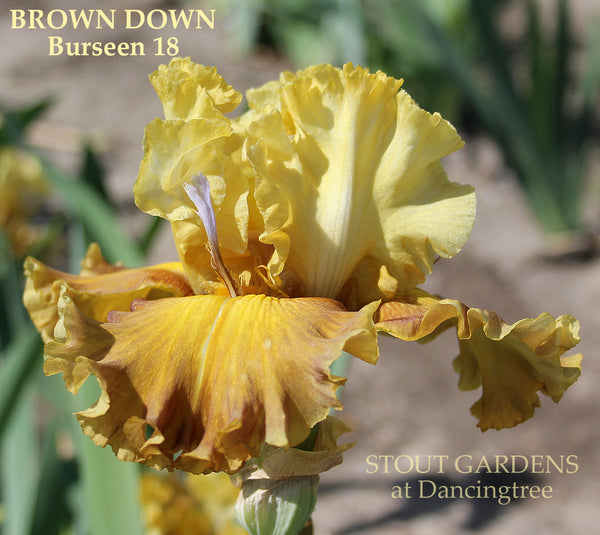 Iris Brown Down