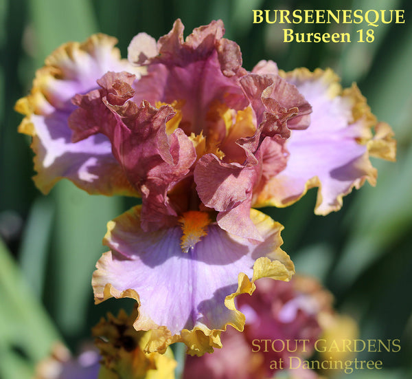 Iris BURSEENESQUE