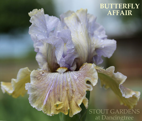Iris BUTTERFLY AFFAIR