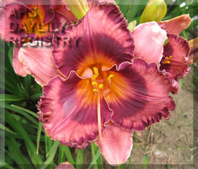 Daylily Bridgeton King Pin