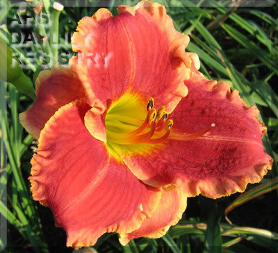Daylily Bridgeton Knockout