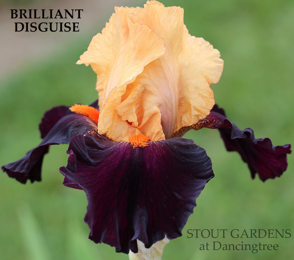 Iris Brilliant Disguise