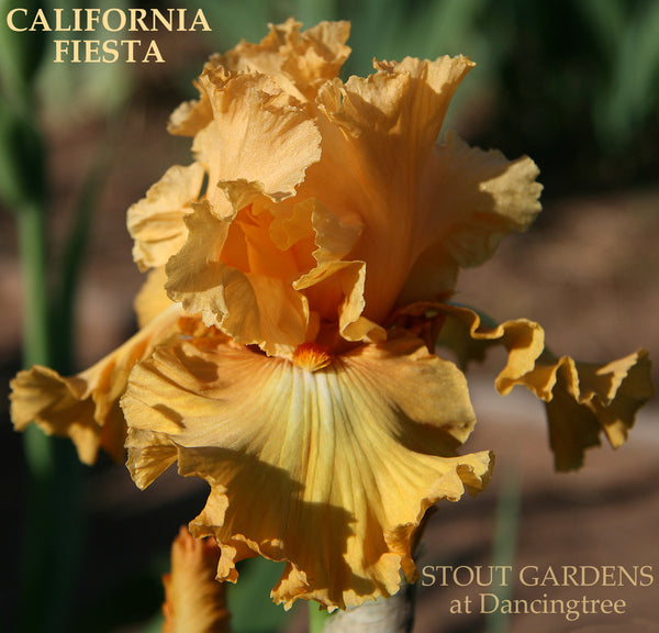 Iris California Fiesta