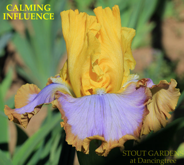 Iris CALMING INFLUENCE