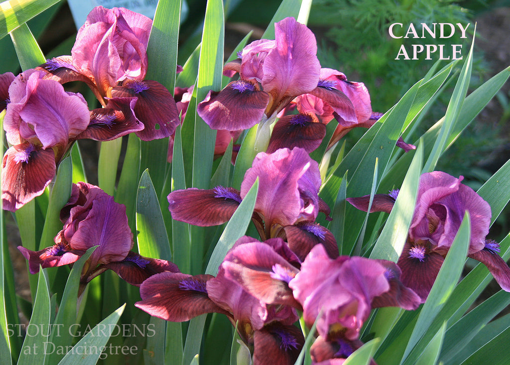 Iris Candy Apple