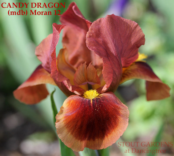Iris CANDY DRAGON