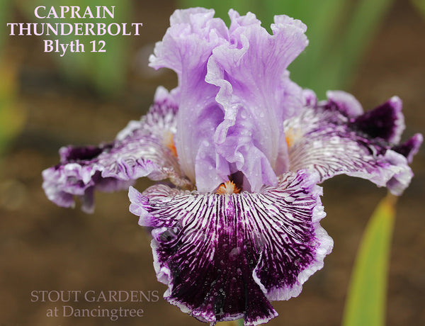 Iris Captain Thunderbolt