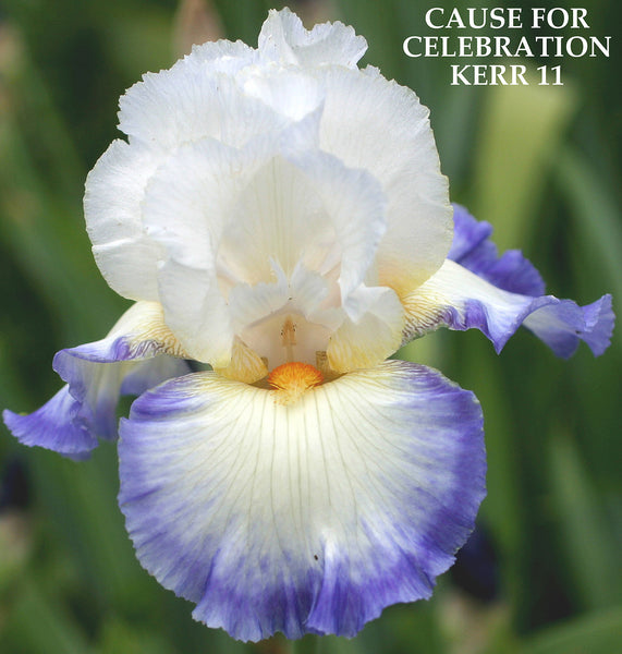 Iris Cause For Celebration