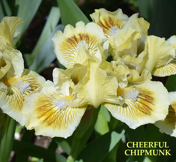 Iris CHEERFUL CHIPMUNK