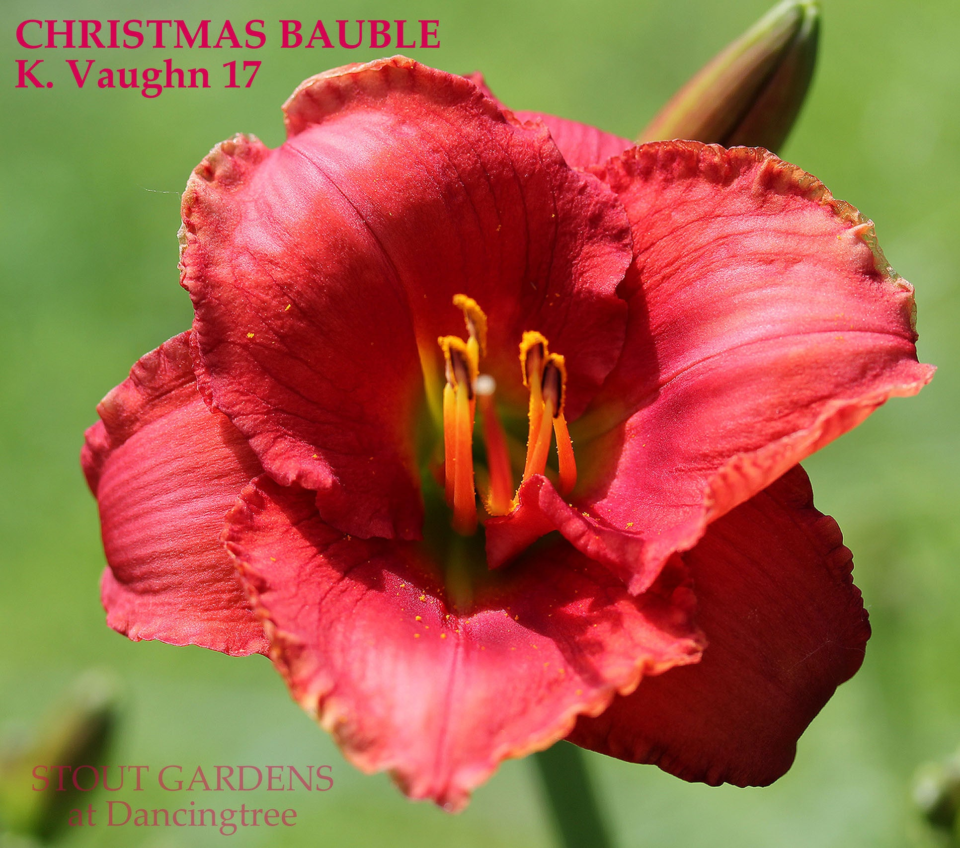 Daylily christmas bauble stout gardens at dancingtree daylily christmas bauble izmirmasajfo