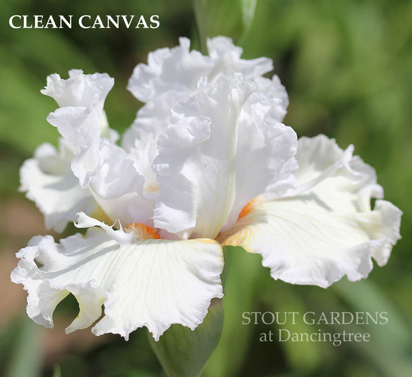 Iris CLEAN CANVAS