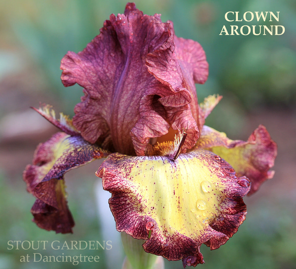 Iris Clown Around