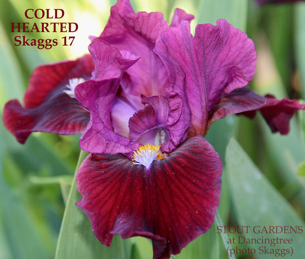 Median Iris COLD HEARTED