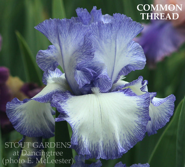 Iris COMMON THREAD