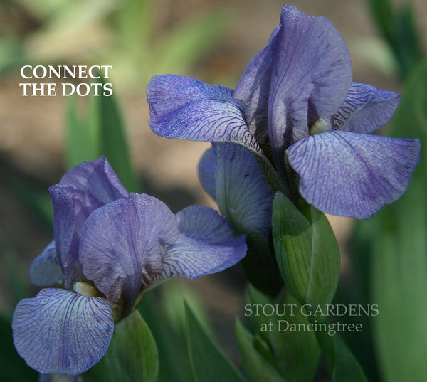 Iris Connect The Dots