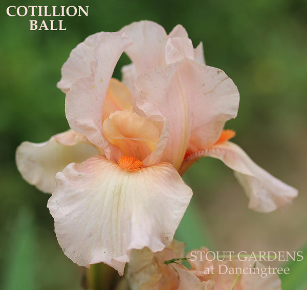 Iris Cotillion Ball