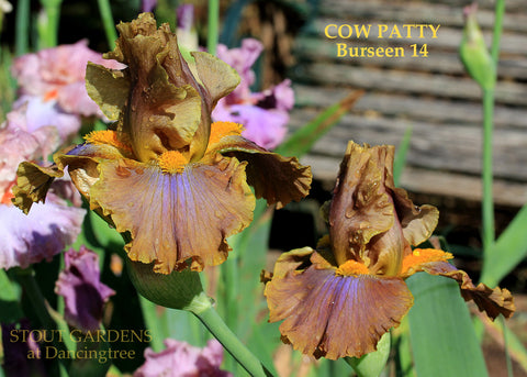 Iris Cow Patty