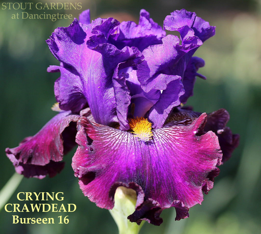 Iris CRYING CRAWDEAD