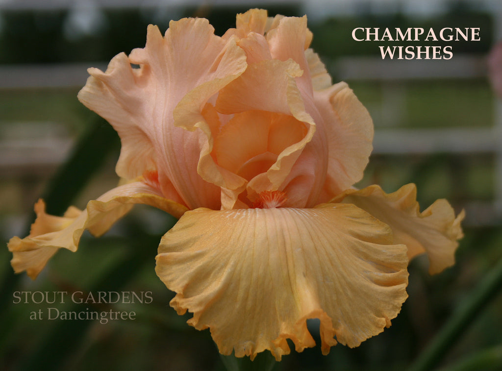 Iris Champagne Wishes