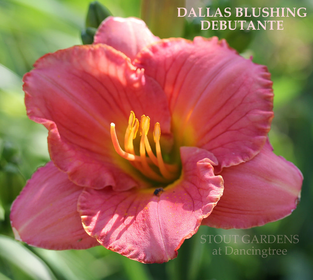 Daylily DALLAS BLUSHING DEBUTANTE