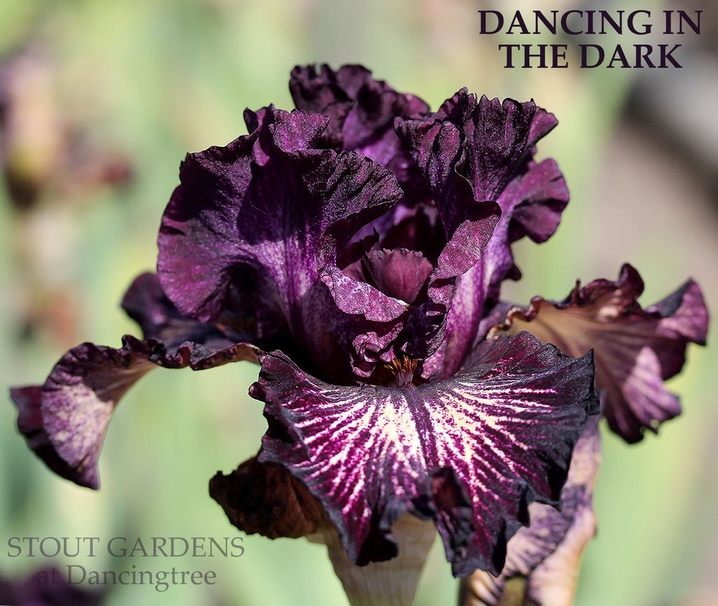 Iris Dancing In The Dark