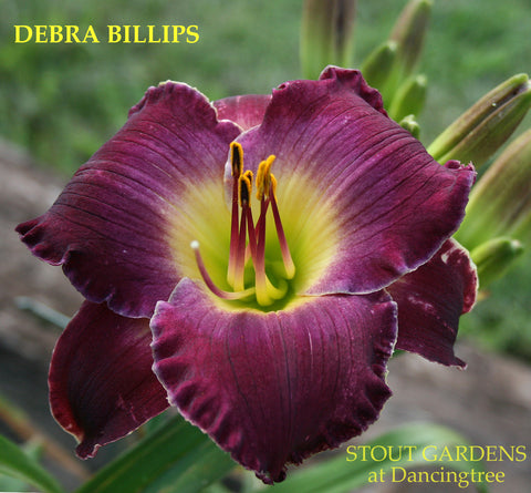 Daylily Debra Billips
