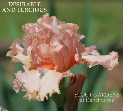 Iris Desirable And Luscious