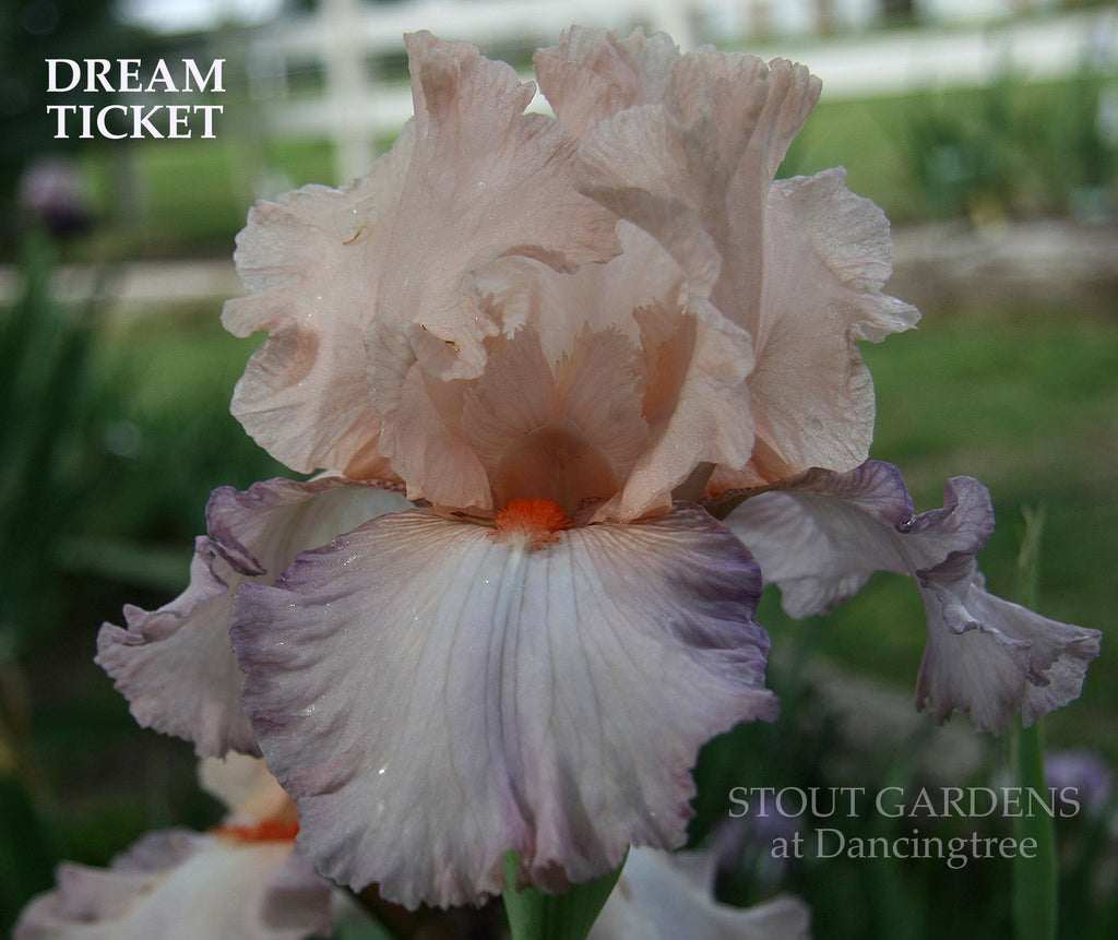 Iris DREAM TICKET