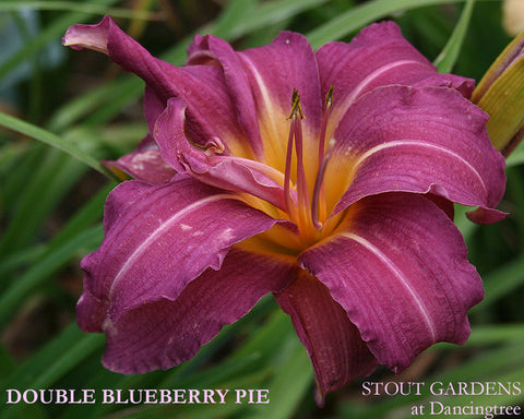 Daylily DOUBLE BLUEBERRY PIE