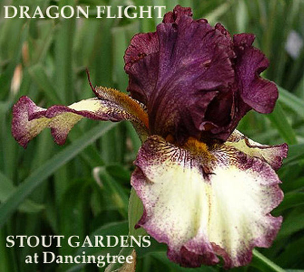 Iris DRAGON FLIGHT