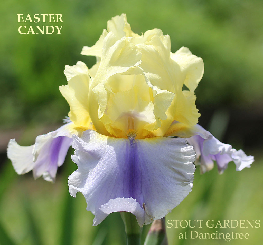 Iris Easter Candy