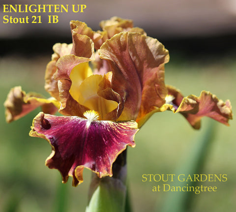 Iris Enlighten Up