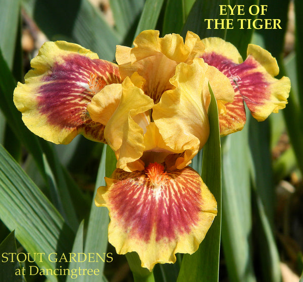 Iris Eye Of The Tiger
