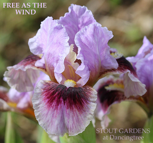 Iris Free As The Wind