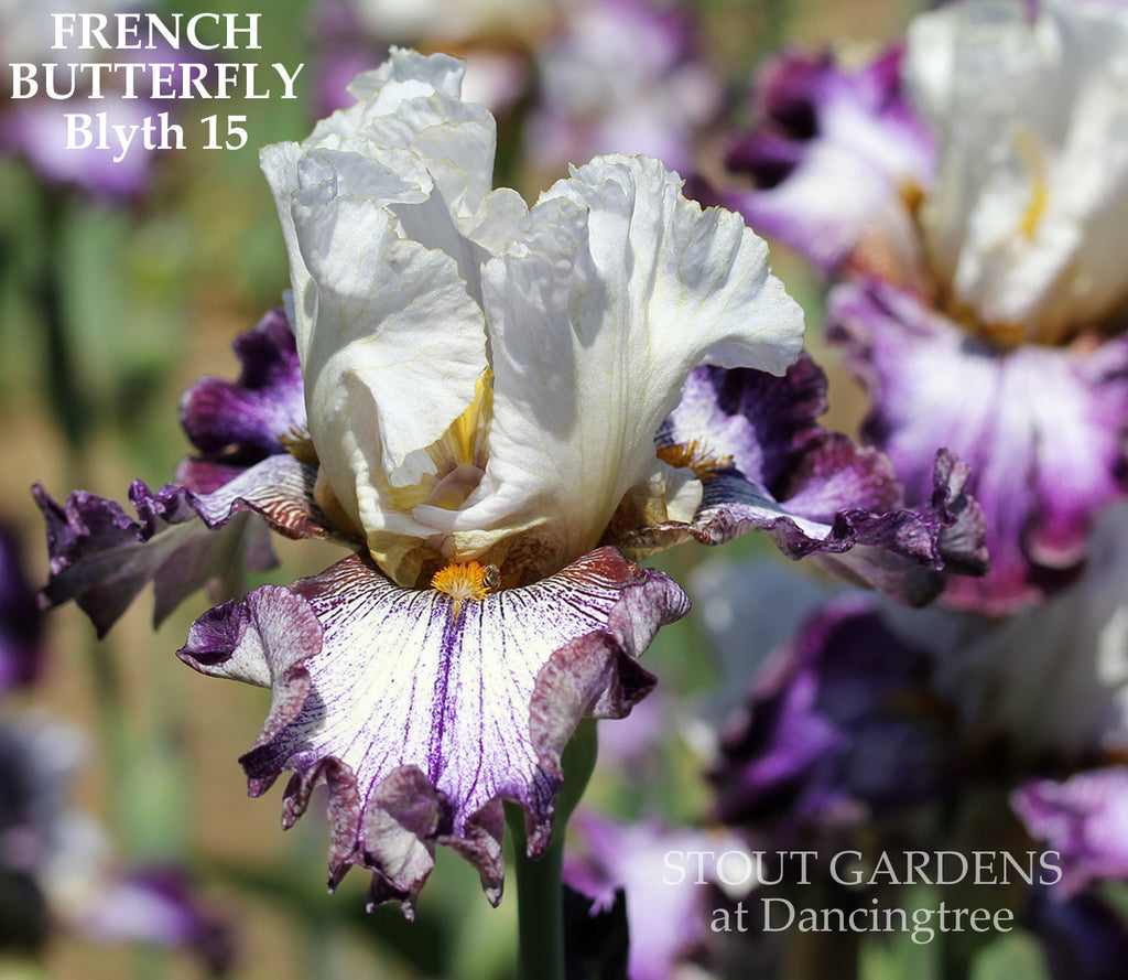 Iris French Butterfly